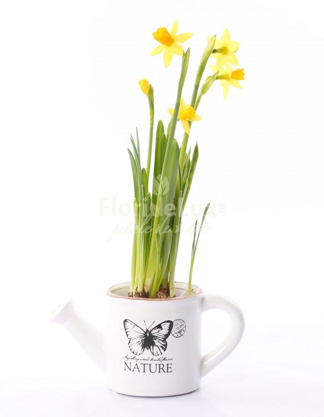 Flori de 8 martie in ghiveci narcisa