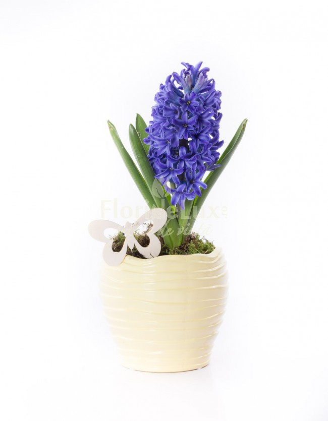 Flori de 8 martie in ghiveci zambila
