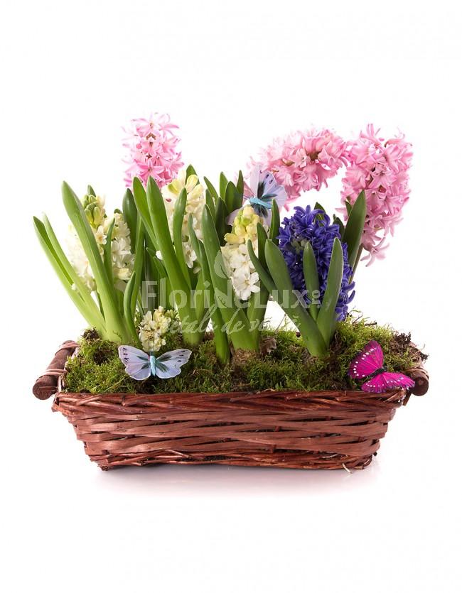 Flori de 8 martie in ghiveci
