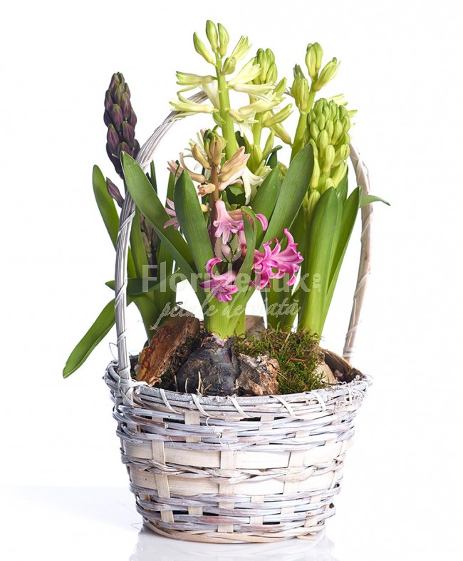 Flori de 8 martie la ghiveci
