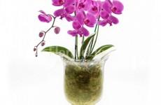 orhidee_phalaenopsis_1_